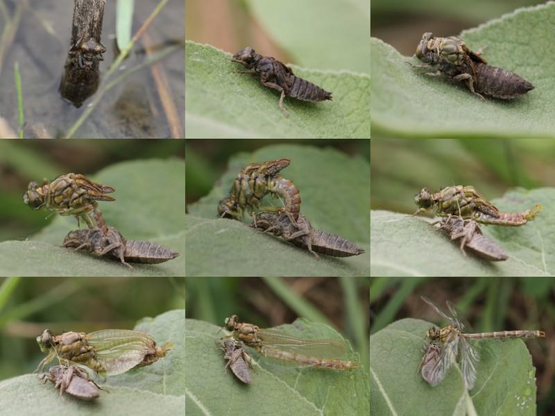 Métamorphose d'une larve de Gomphe à pinces mâle (Gomphus forcipatus)