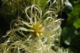 Clématite des haies5 (Clematis vitalba L.)-Renonculacées