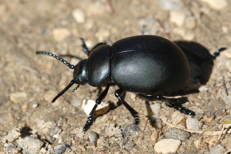 comment les reconna tre insectes de france. Black Bedroom Furniture Sets. Home Design Ideas