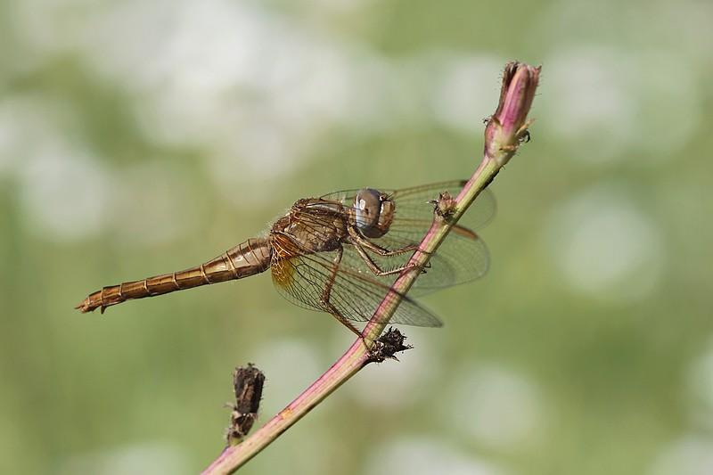Crocothemis erythraea (Libellule écarlate femelle)