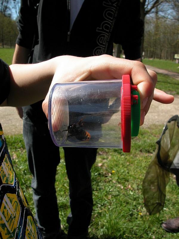 Au début de l'année les reines bourdon, reconnaissables à leur grande taille, cherchent une cavité pour fonder leur colonie.
