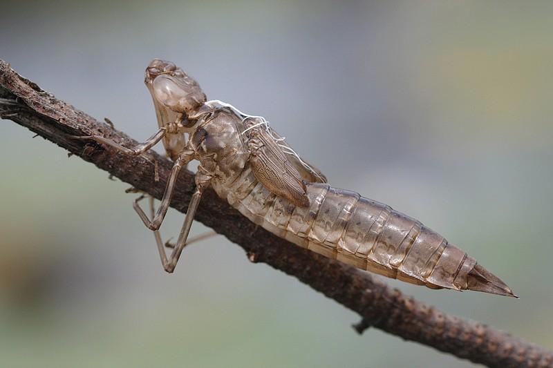 Dernière exuvie d'une libellule (Anax imerator)