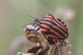 Graphosoma italicum | ©Fabien Virey