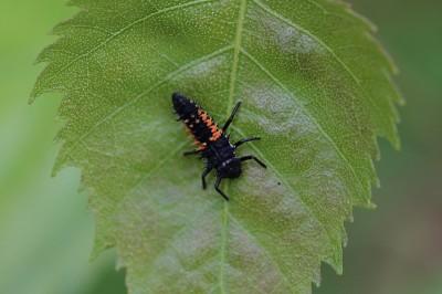 La m tamorphose de la coccinelle insectes de france - Larves de coccinelles ...