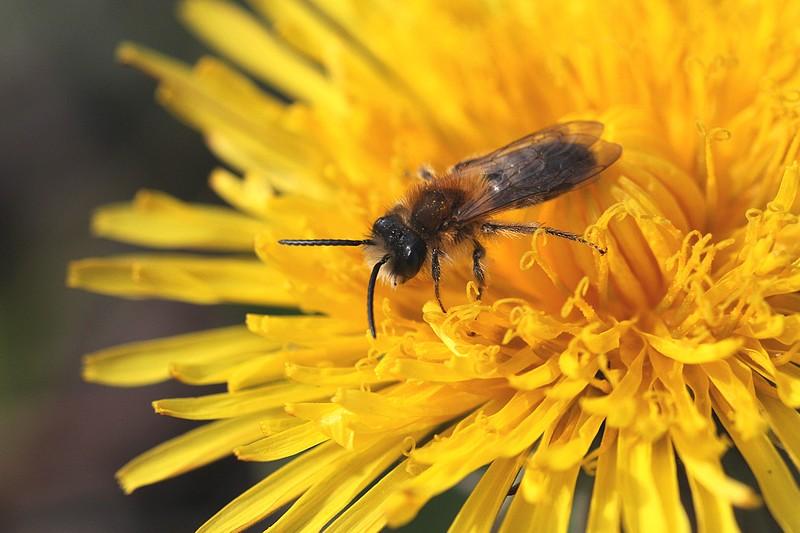 Une petite abeille solitaire (Andrena sp.) volant de fleur en fleur pour son repas de nectar.
