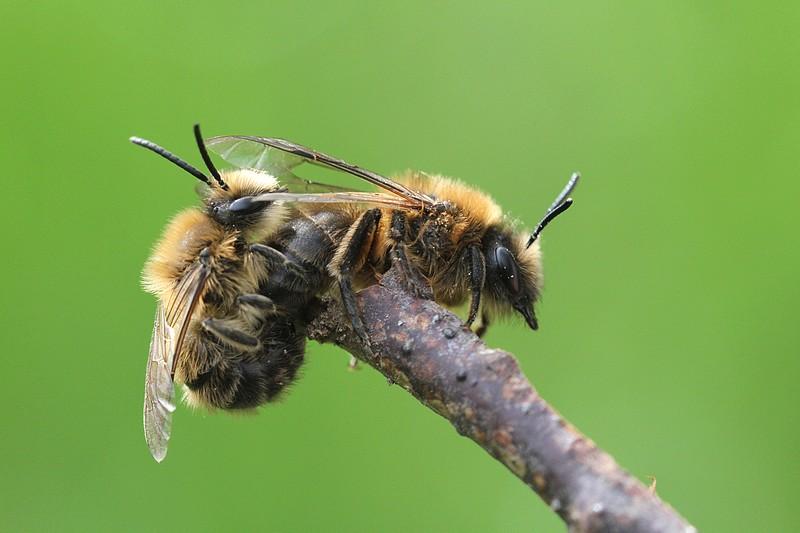 Les abeilles solitaires aussi sont de sortie, à l'image de ce couple d'Andrènes (Andrena sp.)