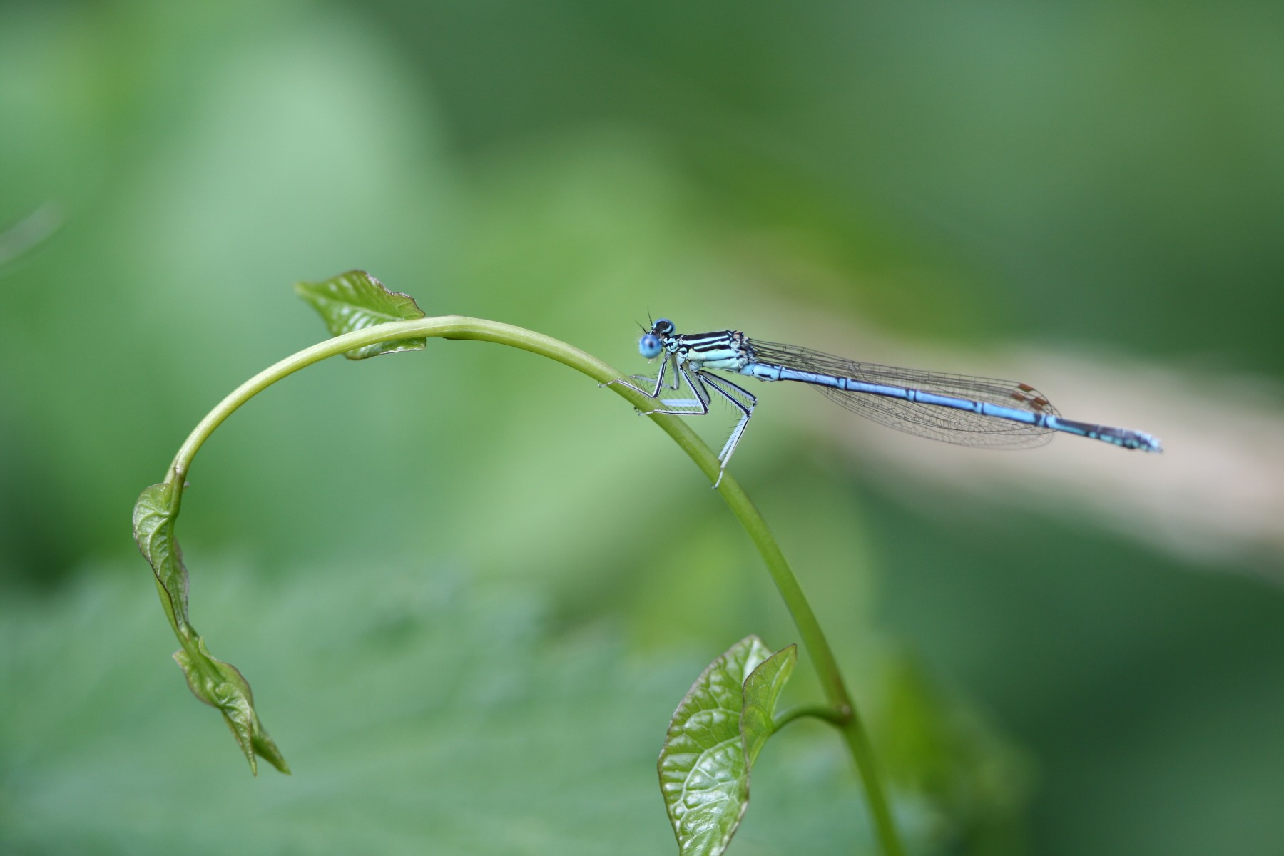 Platycnemis pennipes (Agrion à larges pattes) | ©Fabien Virey