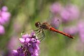 Sympetrum sanguineum (Sympétrum rouge sang mâle)2