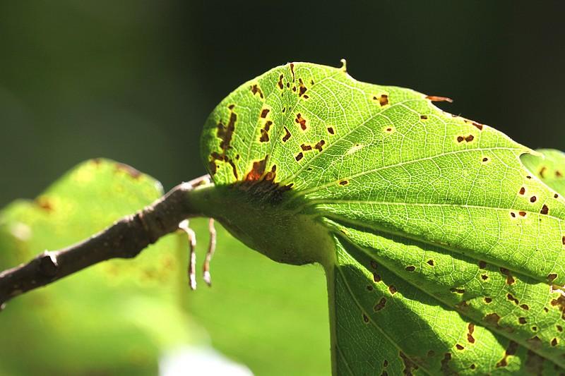 Galle à la base d'une feuille de châtaignier (hyménoptère Dryocosmus kuriphilus)