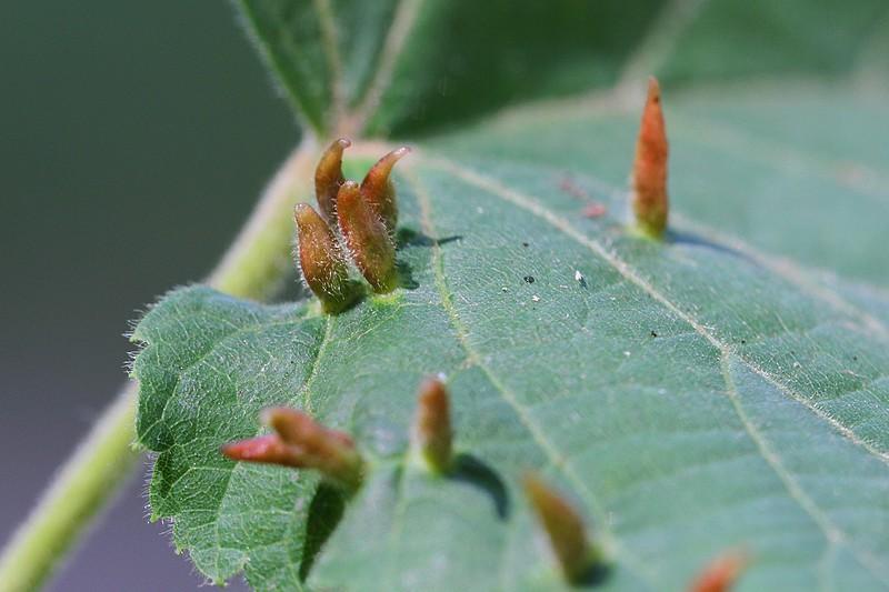 Galles sur feuille de tilleul, renfermant des colonies d'acariens Eriophyes tiliae